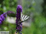 Vlinder in tuin hotel Porfyron in Ano Pedina foto 2 - Zagori Epirus - Foto van De Griekse Gids
