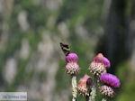 Vlinder op bloem Vikos kloof foto 3 - Zagori Epirus - Foto van De Griekse Gids
